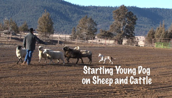 Video: Starting the young dog on sheep and cattle.