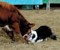 dog-steer